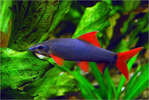 Poisson d 39 eau douce for Alimentation guppy poisson rouge